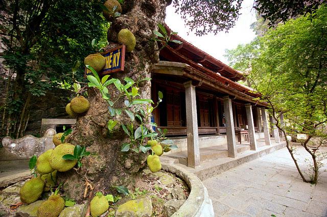 Du lịch Cây mít thế kỷ ỏ chùa Bích Động Ninh Bình