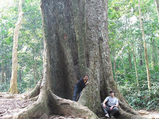 Cây Sấu 1000 năm tuổi trong rưng quốc gia Cúc Phương Ninh Bình