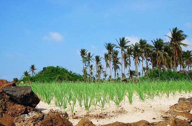 Ruộng hành trồng trên Đảo Lý Sơn, Quảng Ngãi